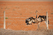 Presidente Olegario_MG, Brasil...Avestruz (Struthio camelus) em Presidente Olegario, Minas Gerais...A ostrich Struthio camelus in Presidente Olegario, Minas Gerais...Foto: LEO DRUMOND / NITRO