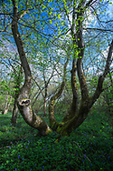 Mature pollarded Ash - Fraxinus excelsior, in spring, Stoke Wood, Oxfordshire.