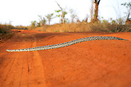 A Madagascan Ground Boa (Boa madagascariensis) crossing a dirt road in western Madagascar. The snake is non-venomous and is endemic to the island.