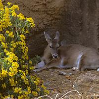 North America, Americas, USA, United States, Arizona. Arizona-Sonora Desert Museum. Mule deer, Odocoileus hemionus.