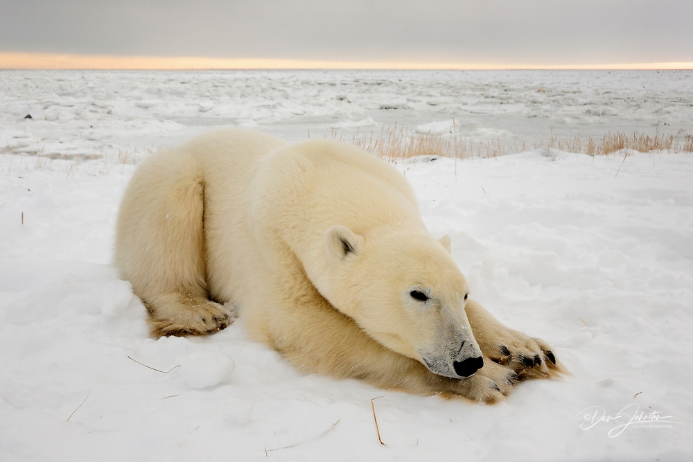 Polar bear (Ursus maritimus) Sleeping, Seal River Heritage Lodge, Churchill, Manitoba, Canada