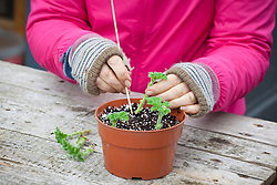 Taking cuttings from scented leaved pelargoniums - Pelargonium 'Attar of Roses' AGM. Placing cuttings around the edge of a pot.