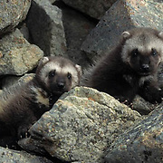Wolverine, (Gulo gulo) Young kits near entrance to den. Early spring. Rocky mountains. Montana. Captive Animal.