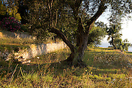 Stone terraces in an olive grove with olive trees surrounded by Daucus carota (wid carrot) at The Orkos Estate, Paxos, Greece
