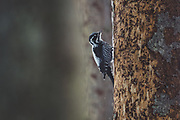 Three-toed woodpecker (Picoides tridactylus) looking for food on standing dead spruce tree, Kemeri National Park (Ķemeru Nacionālais parks), Latvia Ⓒ Davis Ulands | davisulands.com