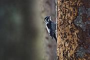 Three-toed woodpecker (Picoides tridactylus) looking for food on standing dead spruce tree, Kemeri National Park (Ķemeru Nacionālais parks), Latvia Ⓒ Davis Ulands | davisulands.com