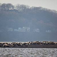 A large group of about 75 harbor seals suns themselves on the beach of Skeleton Island on the bay side Sandy Hook National Park part of the National Gateway Recreation Area.   Seal sighting are relatively rare in the park especially a group this size.