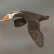 Tufted puffin in breeding plumage in flight with a feather in its beak. St. Paul, Pribilof Islands, Alaska