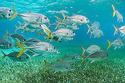 Horse-eye Jack (Caranx latus)<br /> Hol Chan Marine Reserve<br /> Belize Barrier Reef<br /> near Ambergris Caye and Caye Caulker<br /> Belize<br /> Central America