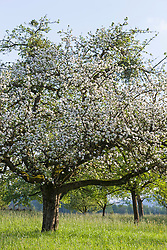 White blossom of apple trees in springtime, Bavaria, Germany