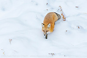 A Red Fox, Vulpes vulpes, hunts mice in a snowy field in Yellowstone National Park.