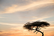 Landscape with view of a single acacia tree silhouette against a moody sky at sunset, Serengeti National Park, Tanzania