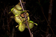 Ground pitchers from the pitcher plant Nepenthes ampullaria growing on a stem in Kubah National Park, Sarawak, Borneo.