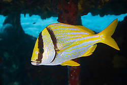 Porkfish, Anisotremus virginicus, sheltering under Sugar Wreck, the remains of an old sailing ship that grounded many years ago, West End, Grand Bahamas, Caribbean, Atlantic Ocean