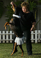 """dogdance.01xx  --  Photo by Kevin Sullivan / The Orange County Register   --  dogdance.p01xx.kjs2.jpg  --   Lynne Ryan, of Placentia """"dances"""" with her doberman pinscher Hannah outside the Jump Start Dog Sports obedience school in Yorba Linda  Monday December 22, 2003.  Dog dancing is the latest craze in the dog training world, one that calls for dogs to jump around in time to music."""