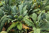 Lacinato kale grows in an organic garden.