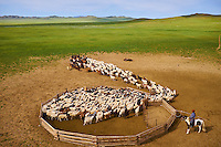 Mongolie, Province de Tov, campement nomade, troupeau de mouton sortant de l'enclos // Mongolia, Arkhangai province, nomad camp, sheep herd leaving the stockyard