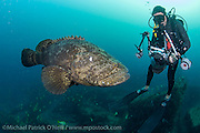 An underwater photographer photographs an endangered and protected Goliath Grouper, Epinephelus itajara, offshore Palm Beach County, Florida, United States.
