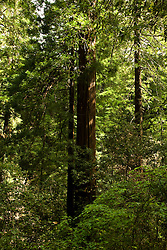 California: Muir Woods National Monument redwood tree environment, near San Francisco.  Photo copyright Lee Foster.  Photo # 33-casanf80980.   .