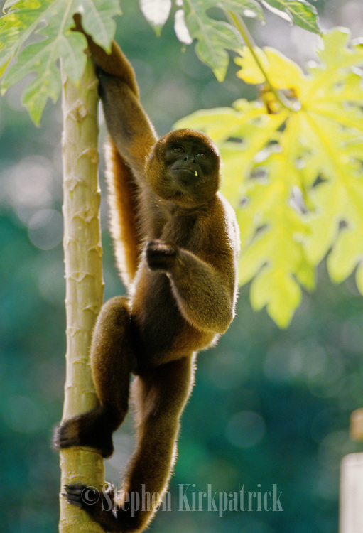 Wooly monkey hangs from a tree while searching for food - Amazonia, Peru