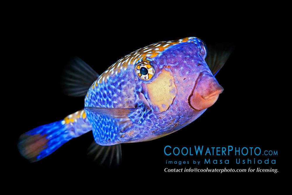 spotted or white-spotted boxfish, Ostracion meleagris, male, Kona Coast, Big Island, Hawaii, USA, Pacific Ocean
