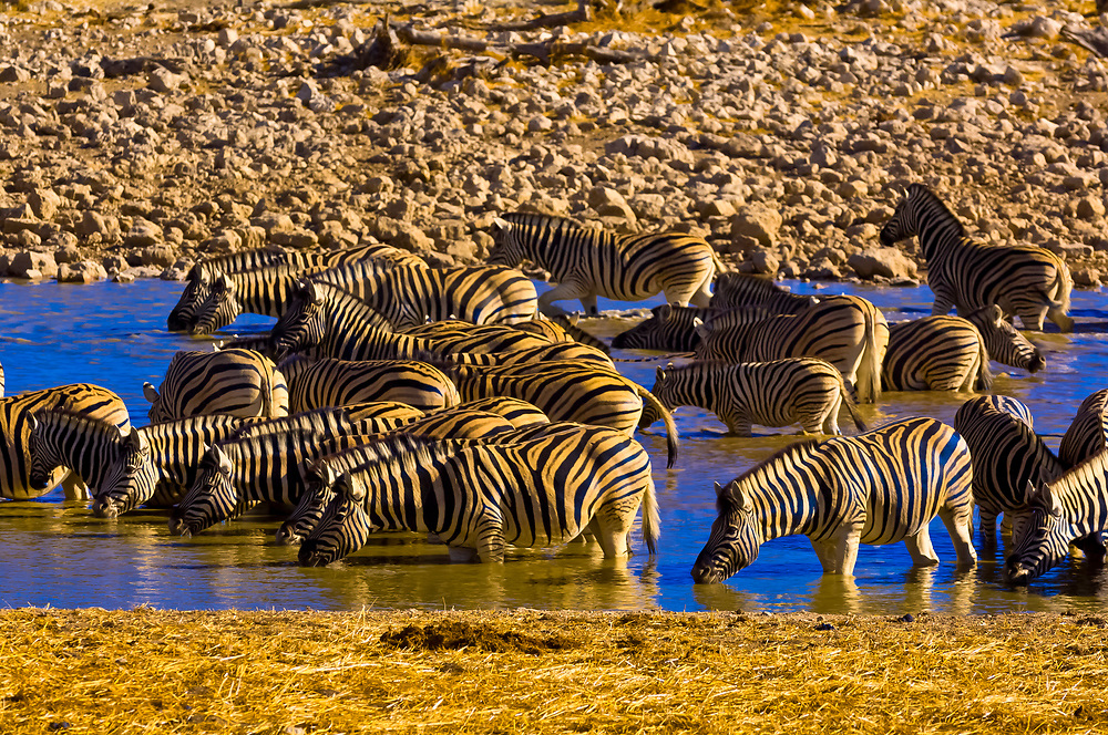 A herd of Plains zebra in the watering hole at the Okaukuejo Resort, Etosha National Park, Namibia
