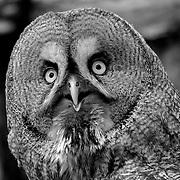 Bird great gray owl, Berlin, Germany (June 2007)