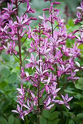 Dictamnus albus var. purpureus AGM syn. Dictamnus albus 'Fraxinella' <br /> Dictamnus albus 'Rubra' - Burning Bush, Purple flowered dittany. Double check id