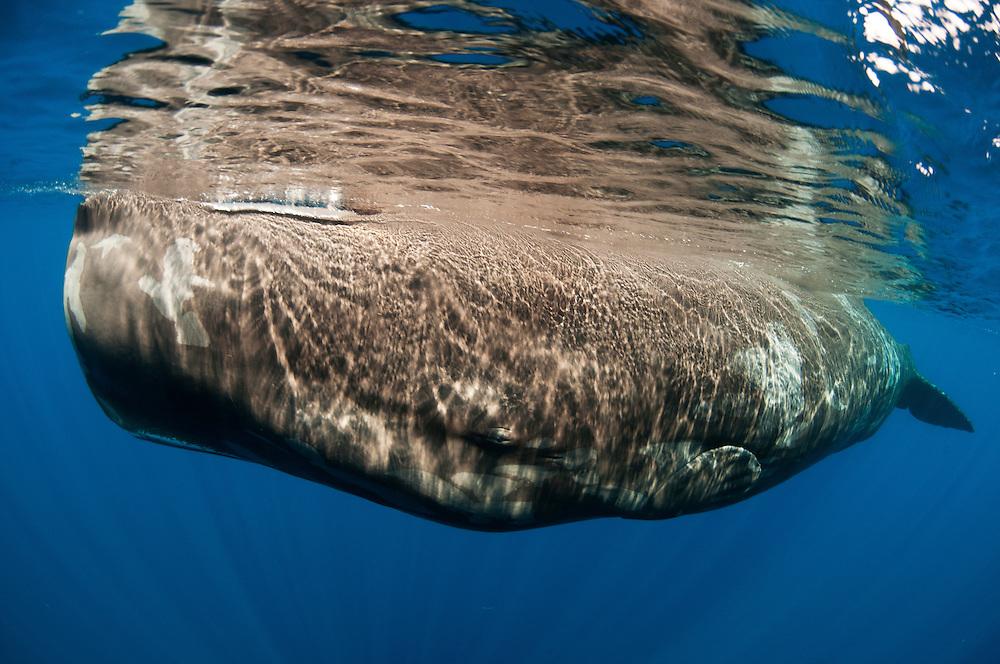 Sperm whale underwater off Sri Lanka