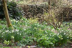 Narcissus 'Thalia' growing under Corylopsis pauciflora in the woodland garden at Glebe Cottage