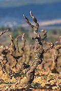 Domaine Jean Baptiste Senat. In Trausse. Minervois. Languedoc. Vines trained in Gobelet pruning. Carignan grape vine variety. Vineyard in winter. France. Europe. Vineyard.