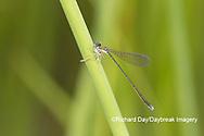 06330-00108 Spaghnum Sprite (Nehalennia gracilis) female with prey in fen Dent Co. MO