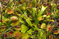 The world's most famous carnivorous plant - the venus flytrap, growing wild in a bog in North Florida. These natives to the American Southeast - primarily North and South Carolina, have been spreading and thriving in the Apalachicola National Forest.