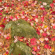 Red Maple leaves on the forest floor in Breakheart Reservation, Wakefield, MA
