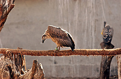 A vulture sits inside a cage at a center set up by Vibhu Prakash who is fighting to keep this endangered species alive January 30, 2005 in Pinjore Gardens near Chandigarh, India. The bird has been dying rapidly from eating the carcasses of cattle when the drug Diclofenic has been used  to aleviate pain. (Ami Vitale)<br />