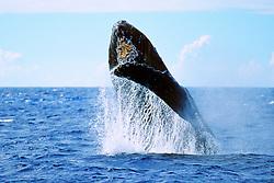humpback whale breaching, .Megaptera novaeangliae, .note barnacles under chin, .Hawaii (Pacific).