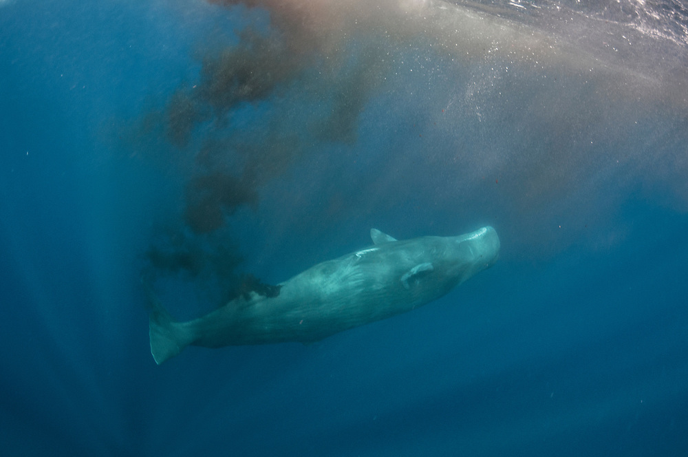 Sperm whale (Physeter macrocephalus) pooping near the surface off Sri Lanka. Whales eat at depth, poo at the surface and migrate throughout the oceans. This transfer of nutrients is of high importance to phytoplankton which converts carbon dioxide into oxygen, fighting climate change.