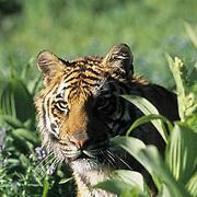 Bengal Tiger, (Panthera tigris) Adult. Captive Animal.