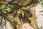 Tadpole in a water pool