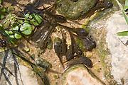 Tadpole in a water pool