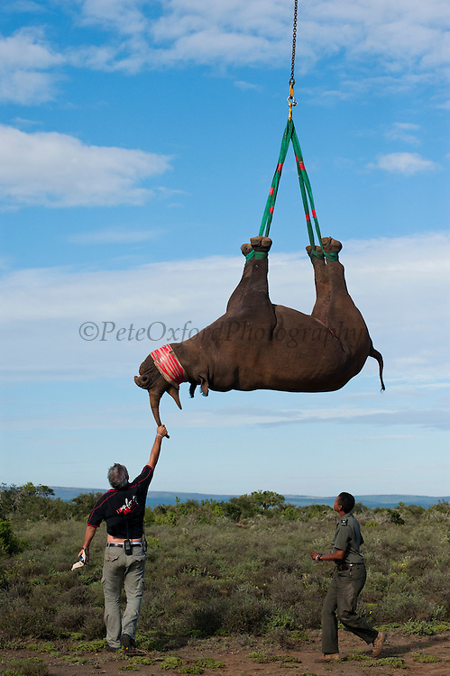 Black Rhinoceros (Diceros bicornis) slung from helicopter. Gavin Shaw, park section ranger & Kathy Dreyer, Veterinary Services.<br /> Great Fish River Nature Reserve, Eastern Cape Province<br /> SOUTH AFRICA<br /> A viable breeding population of 15 animals being relocated to an undisclosed destination.<br /> ENDANGERED SPECIES. CITES 1