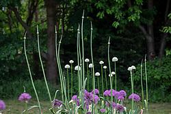 Allium 'Summer Drummer' in bud