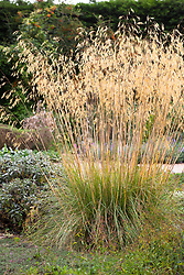 Stipa gigantea AGM in the gravel garden at Beth Chatto's. Golden Oats