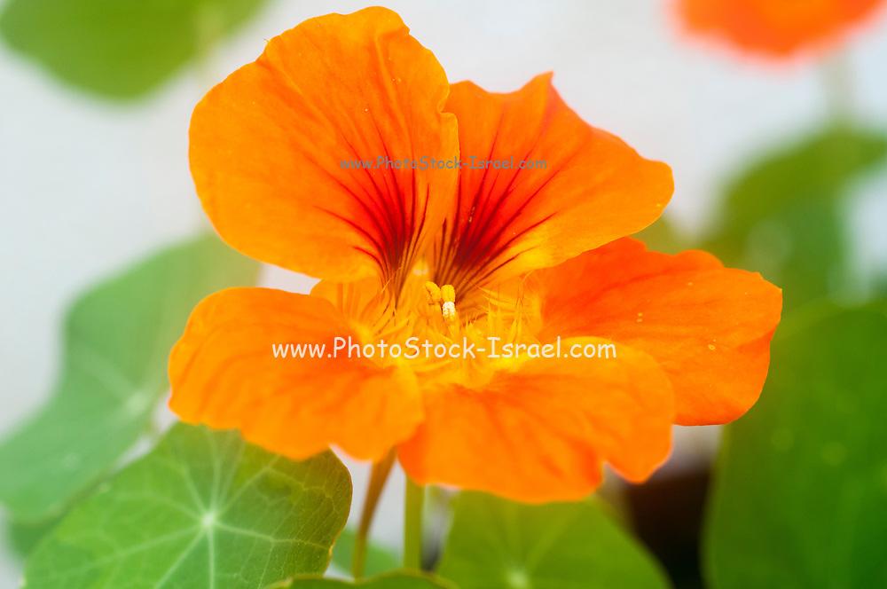 Flowering Tropaeolum majus (garden nasturtium, Indian cress or monks cress)