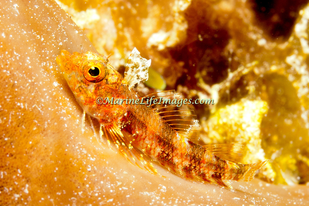 Blackedge Triplefin inhabit reefs, often perch in open, frequently on sponges, usually below 20 ft., in Tropical West Atlantic; picture takenSan Salvador, Bahamas.
