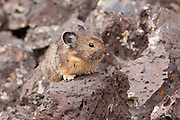 American pika (Ochotona princeps) in Craters of The Moon National Monument. Pikas at Craters of the Moon are different in size, color, and behavior than their mountain cousins. They are much darker and smaller than mountain pika. During the warmest summer months, they are most active at dawn and at dusk rather than during the day like in the mountains. Here they make their home in the lava fields using the broken lava for shelter.