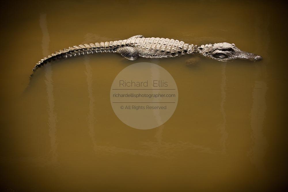 Juvenile American alligator (Alligator mississipiensis) floats in a swamp in Myrtle Beach, SC.