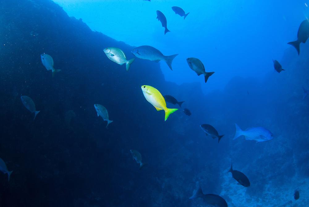 Kermadecs Marine Reserve, Beaked Drummer Kyphosus pacificus