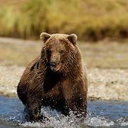 Alaskan Brown Bear, (Ursus middendorffi) Adult running in river fishing for salmon. Katmai National Park. Alaska.
