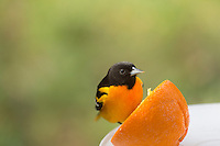 oriole staring directly at me